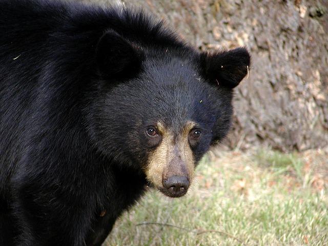 black-bear-51477_640