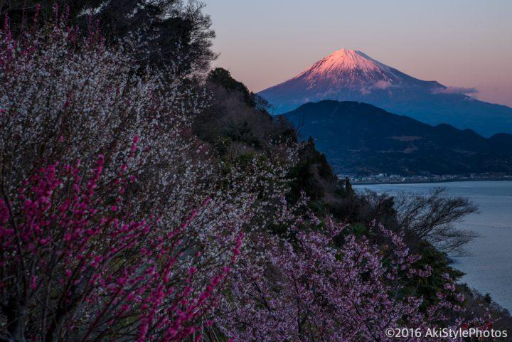 薩埵峠に日米友好のシンボルが!興津の薄寒桜が見頃