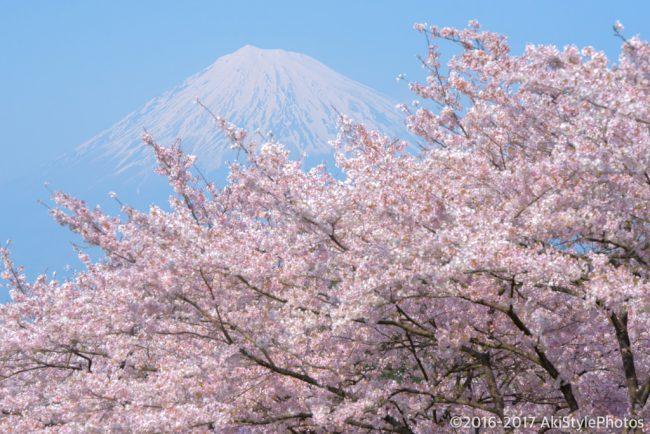 岩本山公園の梅と桜のイベント情報(2018年)絶景富士山を堪能しよう