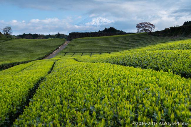 新緑の大淵笹場と今宮の茶畑!農家に迷惑をかけないための撮影ルール