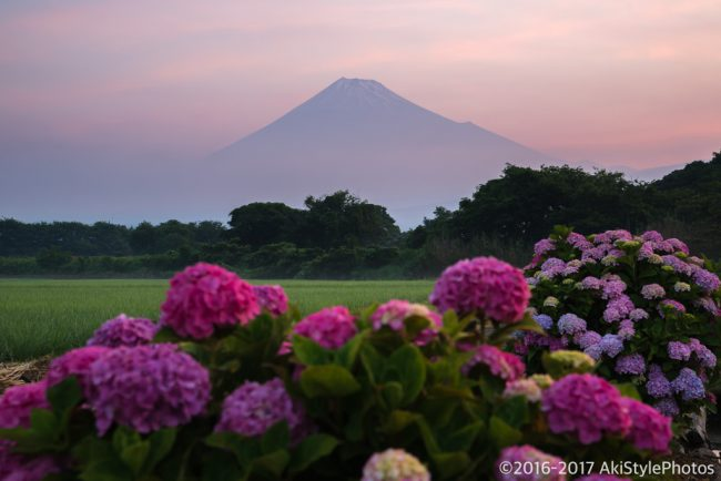富士山と紫陽花と朝焼け