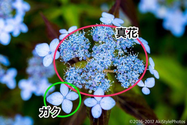 圧巻の300万輪の紫陽花!下田あじさい祭り2017に行ってきた