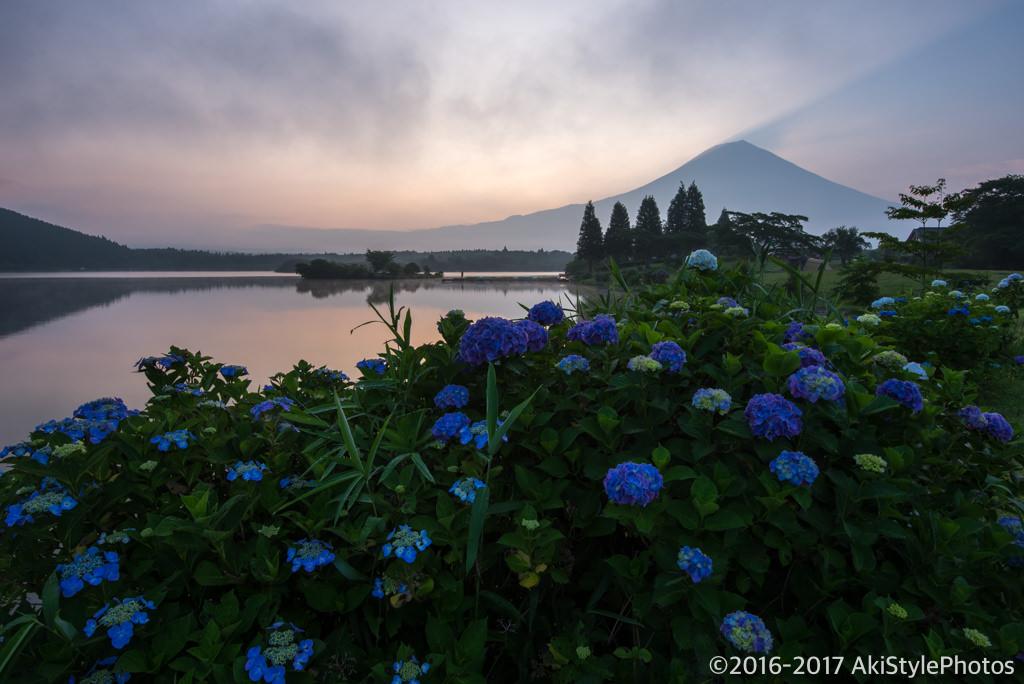 田貫湖の紫陽花と富士山