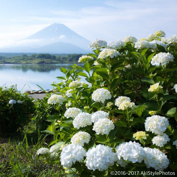ドクターイエロー撮影記Part9 富士五湖周辺の紫陽花は時期が遅い