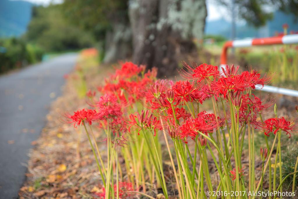 台風後の富士市の彼岸花