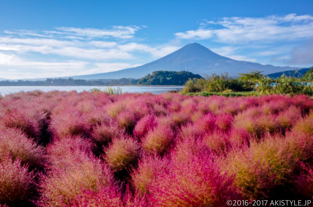 河口湖大石公園の赤く染まるコキアと富士山