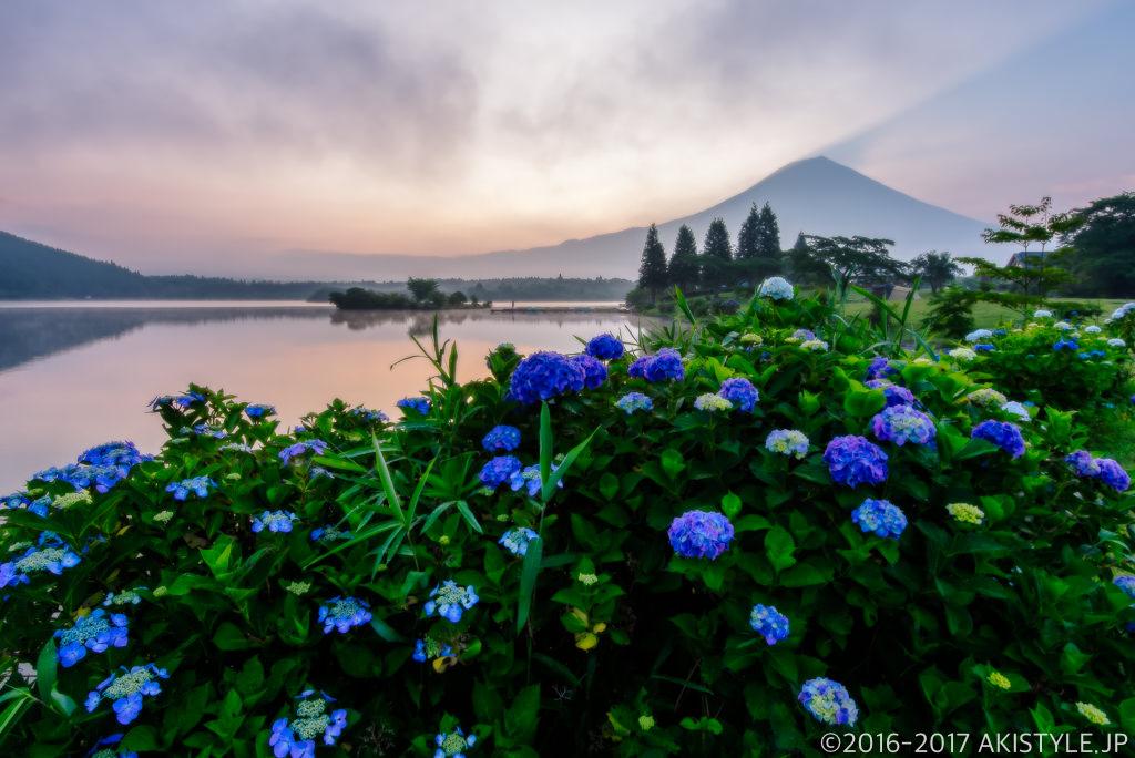 田貫湖の紫陽花と富士山と朝焼け