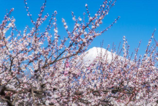 岩本山公園からの梅と富士山