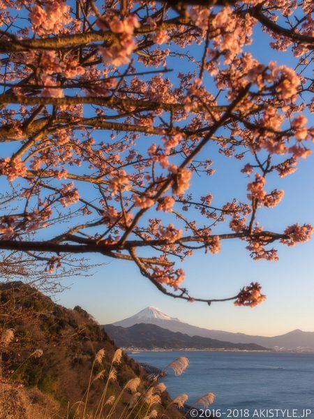 薩埵峠の薄寒桜と富士山
