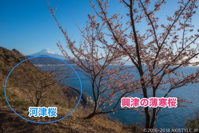 興津の薄寒桜と梅の花!一足早い春を求めて薩埵峠に行ってきた