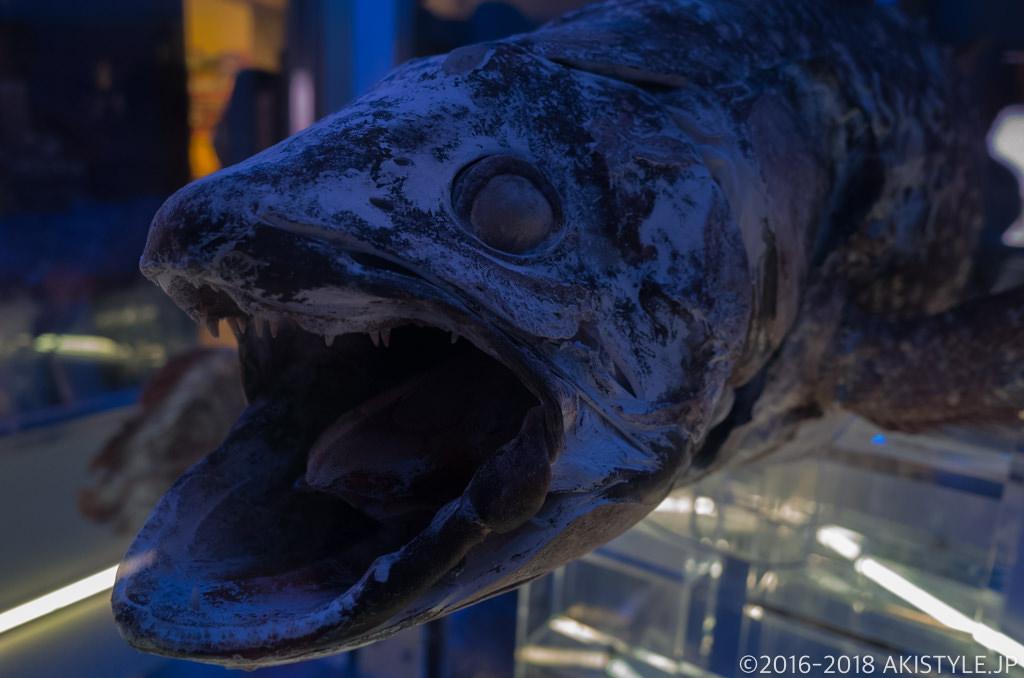 沼津港深海水族館のシーラカンス