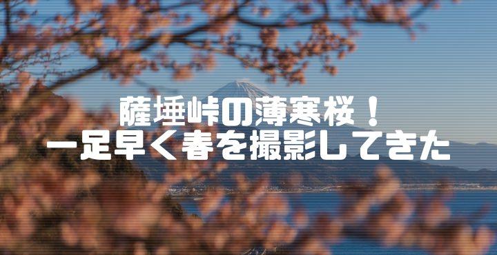 薩埵峠の薄寒桜