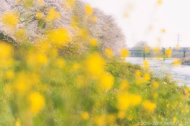 龍巌淵の菜の花