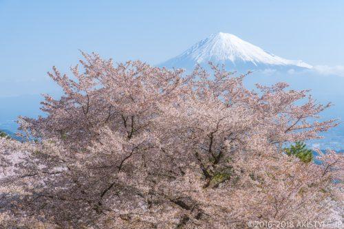 富士市内の桜