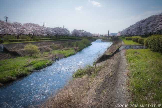 潤井川の桜並木