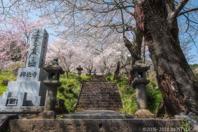 富士宮市興徳寺の桜