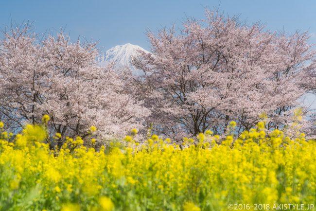 興徳寺の桜と菜の花と富士山