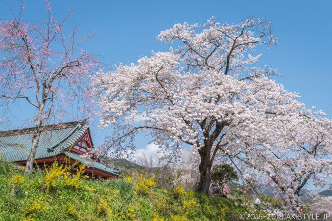 興徳寺のソメイヨシノ