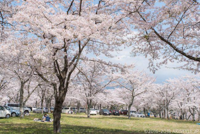 富士宮大石寺の桜