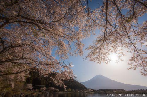 田貫湖の満開の桜