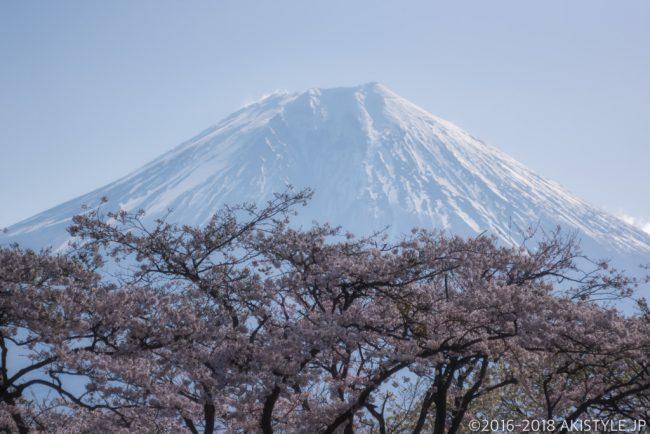 田貫湖の満開の桜と富士山