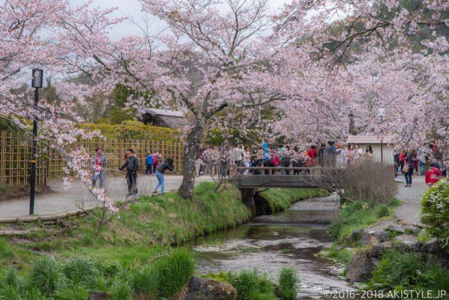 忍野八海の桜