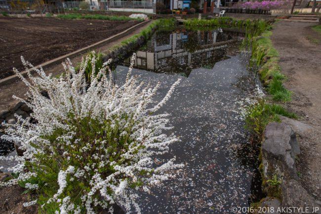 富士山の雪解け水の忍野八海!桜の咲く忍野村へ初めて足を踏み入れた…