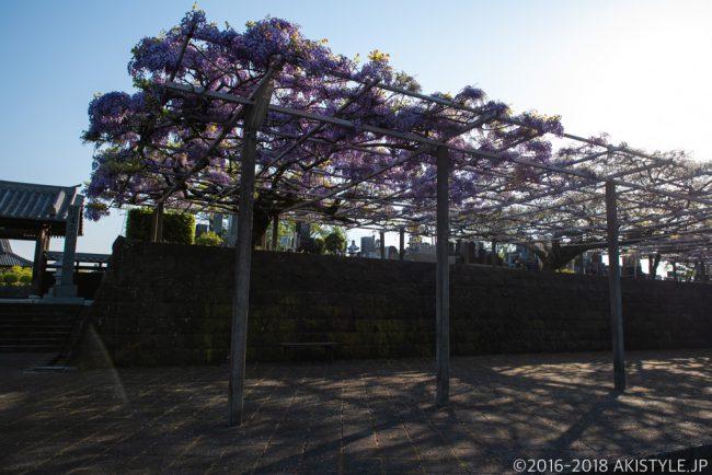 下之坊の藤の花