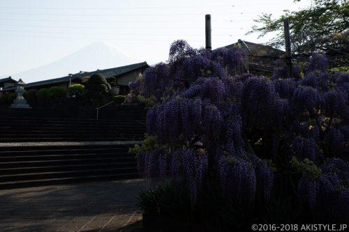 富士山を背景に下之坊の藤棚と、桜に飽きてきた頃に見頃を迎える八重桜さん