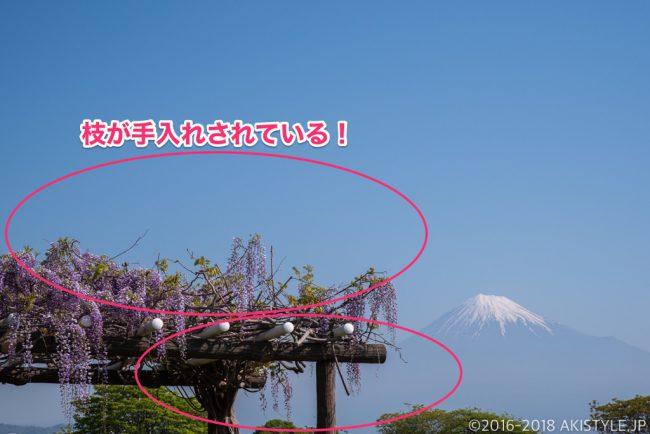富士山と富士川の藤の花