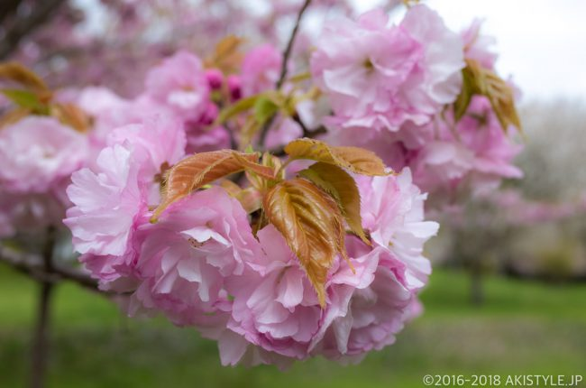 富士山さくらの園の八重桜