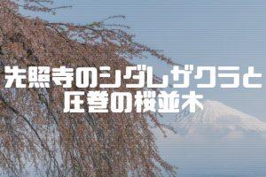 先照寺のシダレザクラと圧巻の桜並木