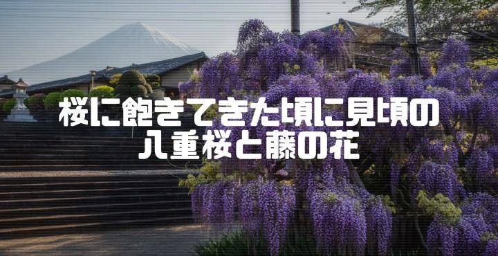 下之坊の藤の花と、富士山さくらの園の八重桜