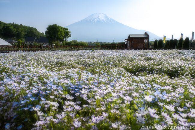 山中湖花の都公園のネモフィラと富士山