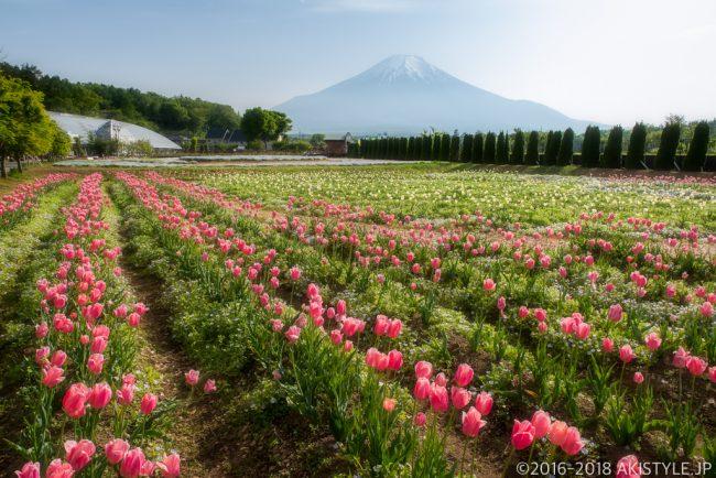 山中湖花の都公園のチューリップ畑と富士山