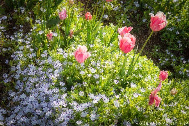 山中湖花の都公園のネモフィラとチューリップ