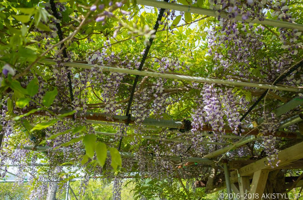 山中湖花の都公園の藤の花