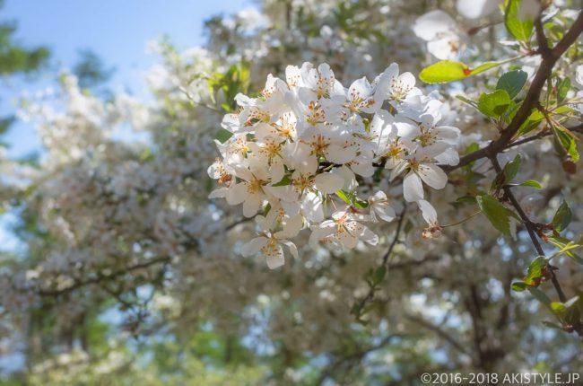 奥甘利山のズミの花