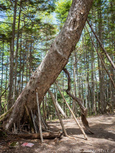 朝日峠の木