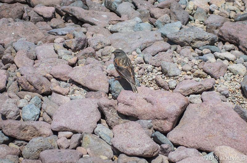 硫黄岳のイワヒバリ