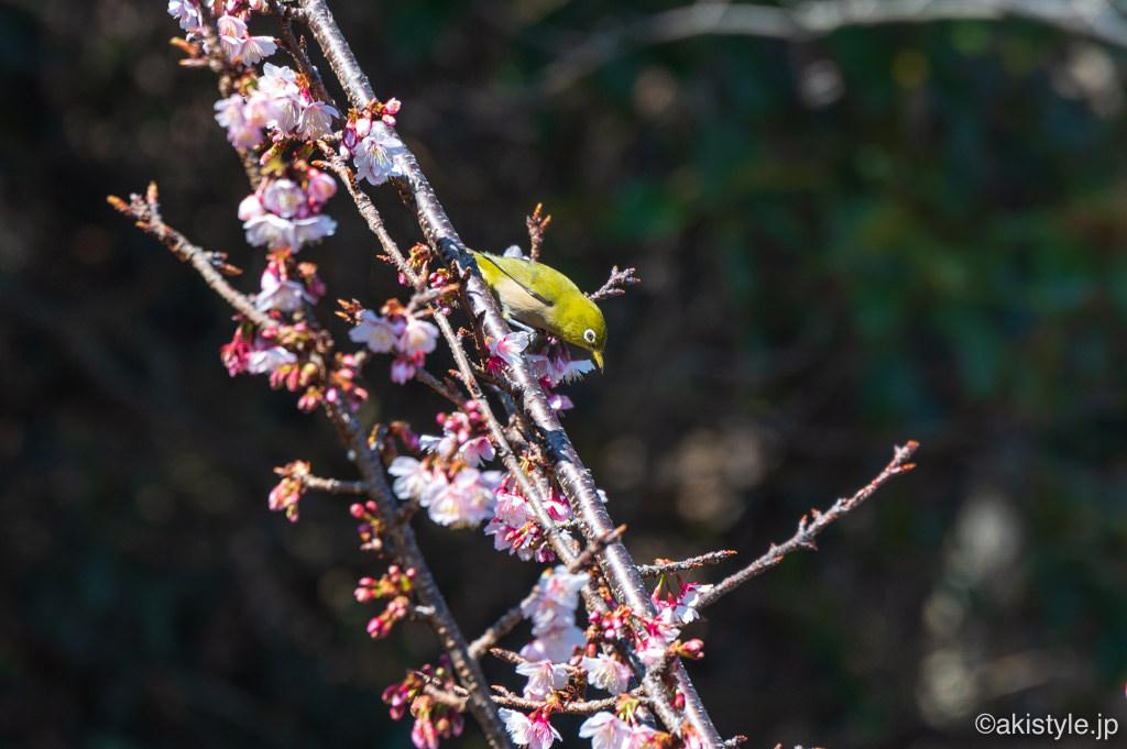 薩埵峠の寒桜とメジロ