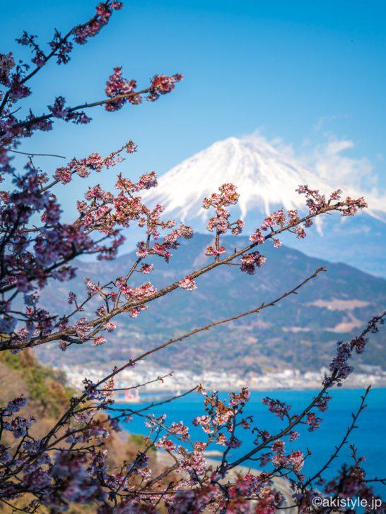 薩埵峠の寒桜と富士山