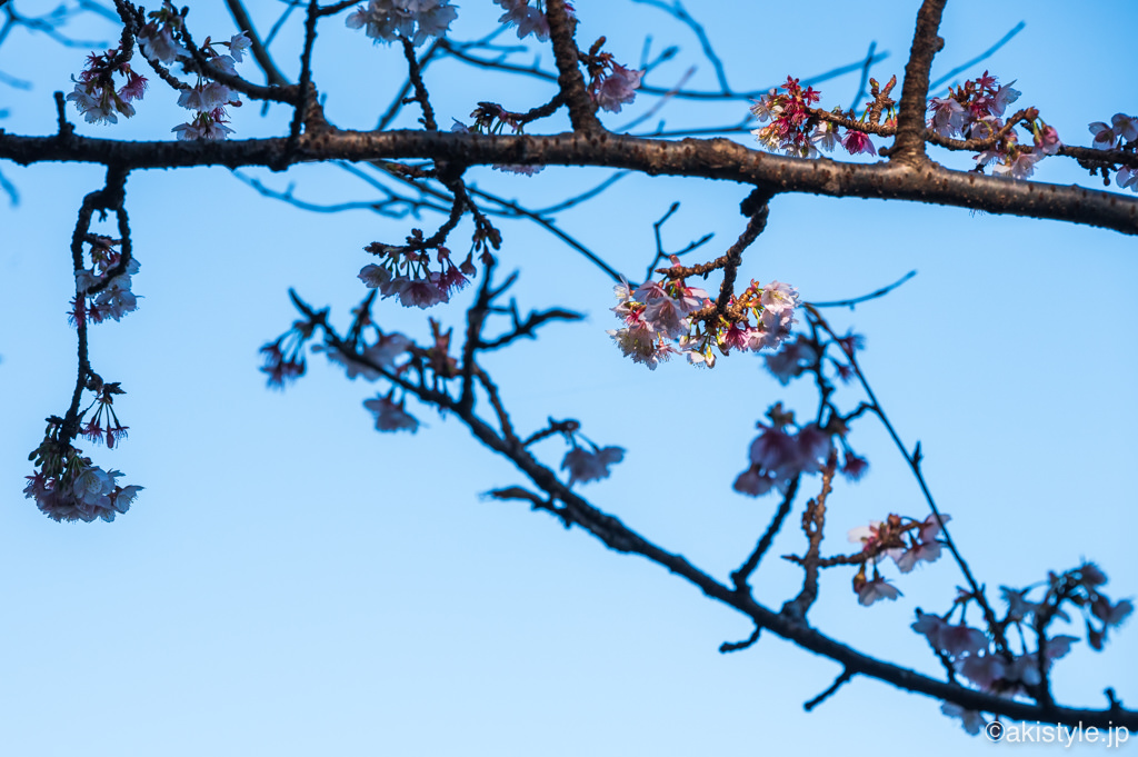 薩埵峠の寒桜